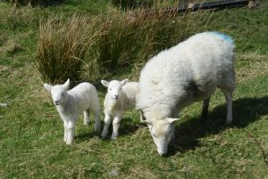 Irish cycling holidays seeing young lambs in Spring