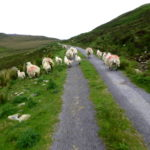 Sheep on the road to Port on Highlights of the Highlands bike tour Ireland by Bike